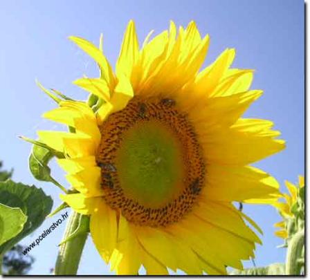 suncokretovo-ulje-izvor-zdravlja2