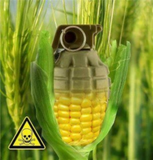 ГМО кукуруз