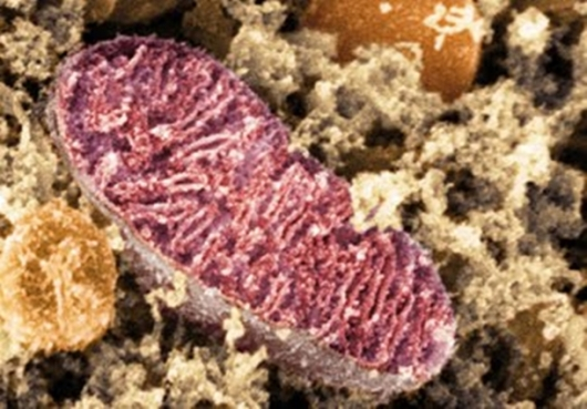 Митохондрија унутар живе људске ћелије