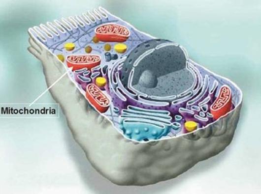 Приказ митохондрија у ћелији